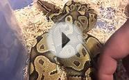 male orange ghost ball python update