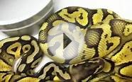 Male Super Pastel Ball Python