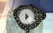 Monthly Highlight Series: Coastal Carpet Python!