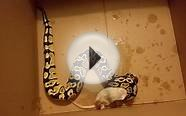 My ball python eats a rat. Drunk narrators.