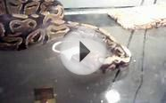 Nadine our Ball Python Catching Killing and Eating a White
