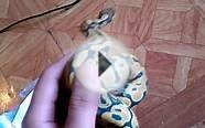 New Orange Ghost Ball Python ! Awesome !