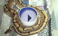 New Phantom Ball Python