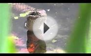 New York Lakes - Wild Water Snake in a Lake