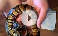 Orange Dream Ball Python