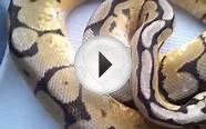 Parting ways with my first ball python morph