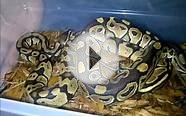 Pastel to pastel ball python comparison 1080p HD