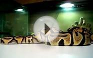 Pastel/Spider/Butter/Yellow Belly ball python updates
