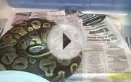 Phantom ball python and update