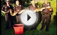 Police Captured Cat Eating Burmese Python In Florida