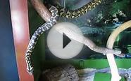 Priya, our friendly 7 foot long Jungle Carpet Python