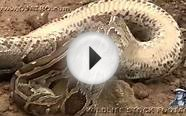 Python eats Rat Alive 02, Time Lapse Speed x2