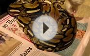 PYTHON RETICULATED RETIC TIGER EATING A RAT