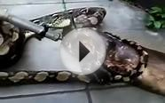 Python Vomits Dog: Huge Snake Regurgitates Dinner