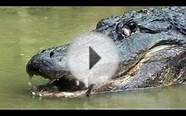 Python vs Alligator 02 -- Real Fight -- Python attacks