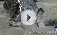 Python vs Alligator 07 -- Real Fight -- Python attacks