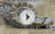 Python vs Alligator 10 -- Real Fight -- Python attacks