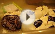 RARE BALL PYTHONS HATCHING OUT OF EGGS!