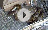 Reticulated Python-1.mp4