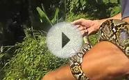 Samui Snake Rescue releases Reticulated Pythons