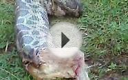 Snake(python) vomiting a big dog after eating UNUSUAL