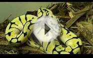 Sneak Peak at Our First Ball Python - Bumblebee (10/28/2009)