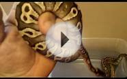 Spider, Mojave, Pinstripe , Pastel, Yellow Belly, Ball Python