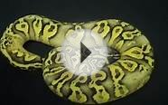 Super Pastel Yellowbelly Fader ball python