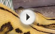 Super Tiger Reticulated Python outside