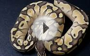 Unboxing : Pastel Lesser Ball Python