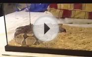 Vicious Ghost Ball Python Strike