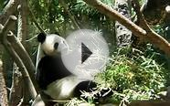 What does a Panda eat? | What do panda bears eat | giant