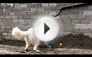 White dog and the colorful balls