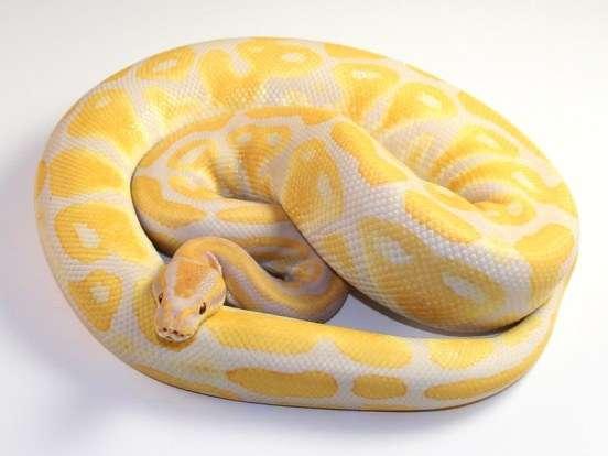 Ball Python Pet Care