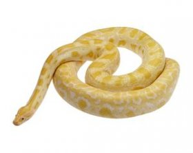 The albino Burmese python was the first widely bred python mutation.