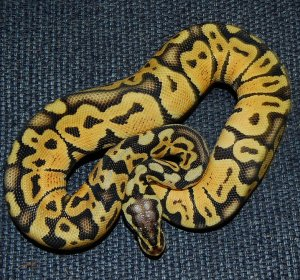Female Pastel Ball Pythons for sale